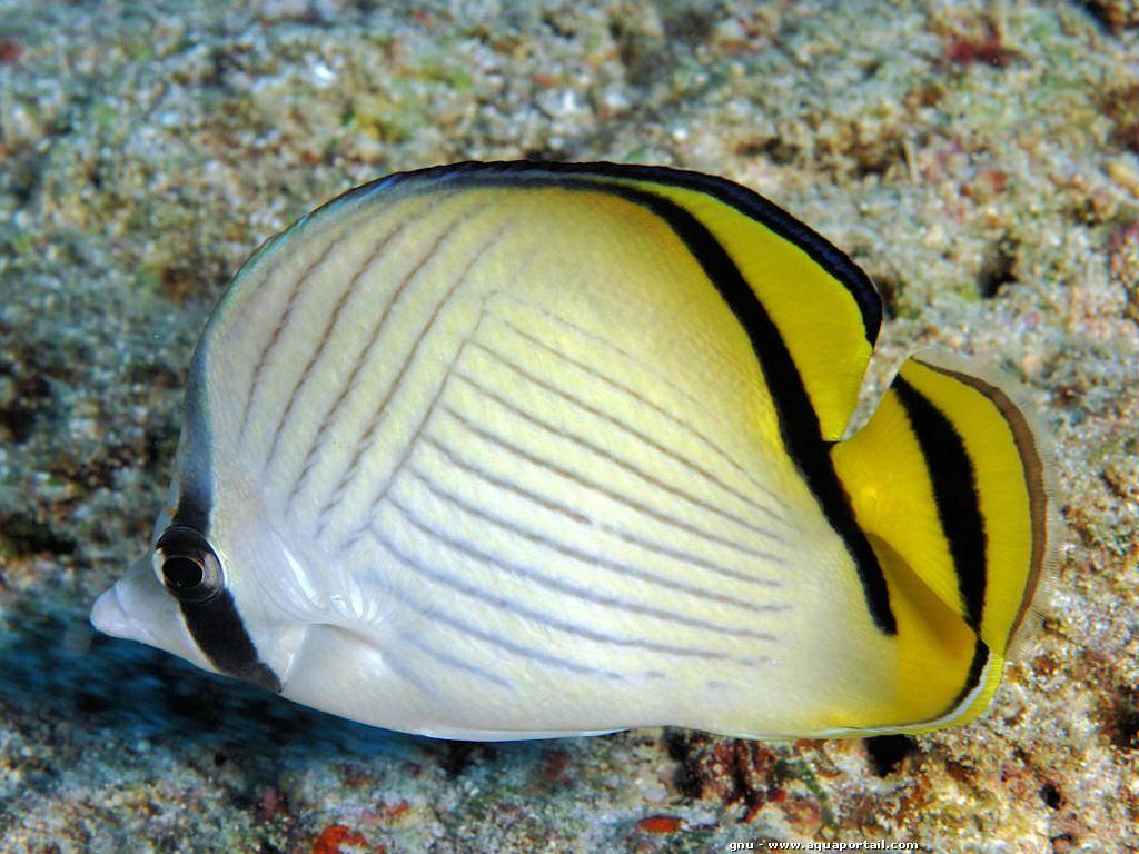 Chaetodon vagabundus ch todon vagabond poisson papillon for Elevage poisson rouge