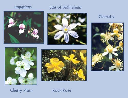 Five Flower Rescue Remedy Is A Combination Of Essences That Is Used In Emergency Situations To Stabilize Bach Flower Remedies Flower Remedy Clematis Flower