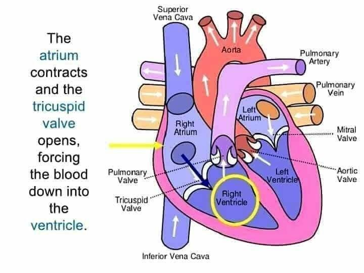 Pin by babugopal on homoeopathy   Heart diagram, Human ...