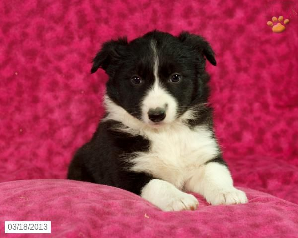 Border Collie Puppy For Sale Quarryville Pa Damsel Border Collie Puppies Collie Puppies For Sale Collie Puppies
