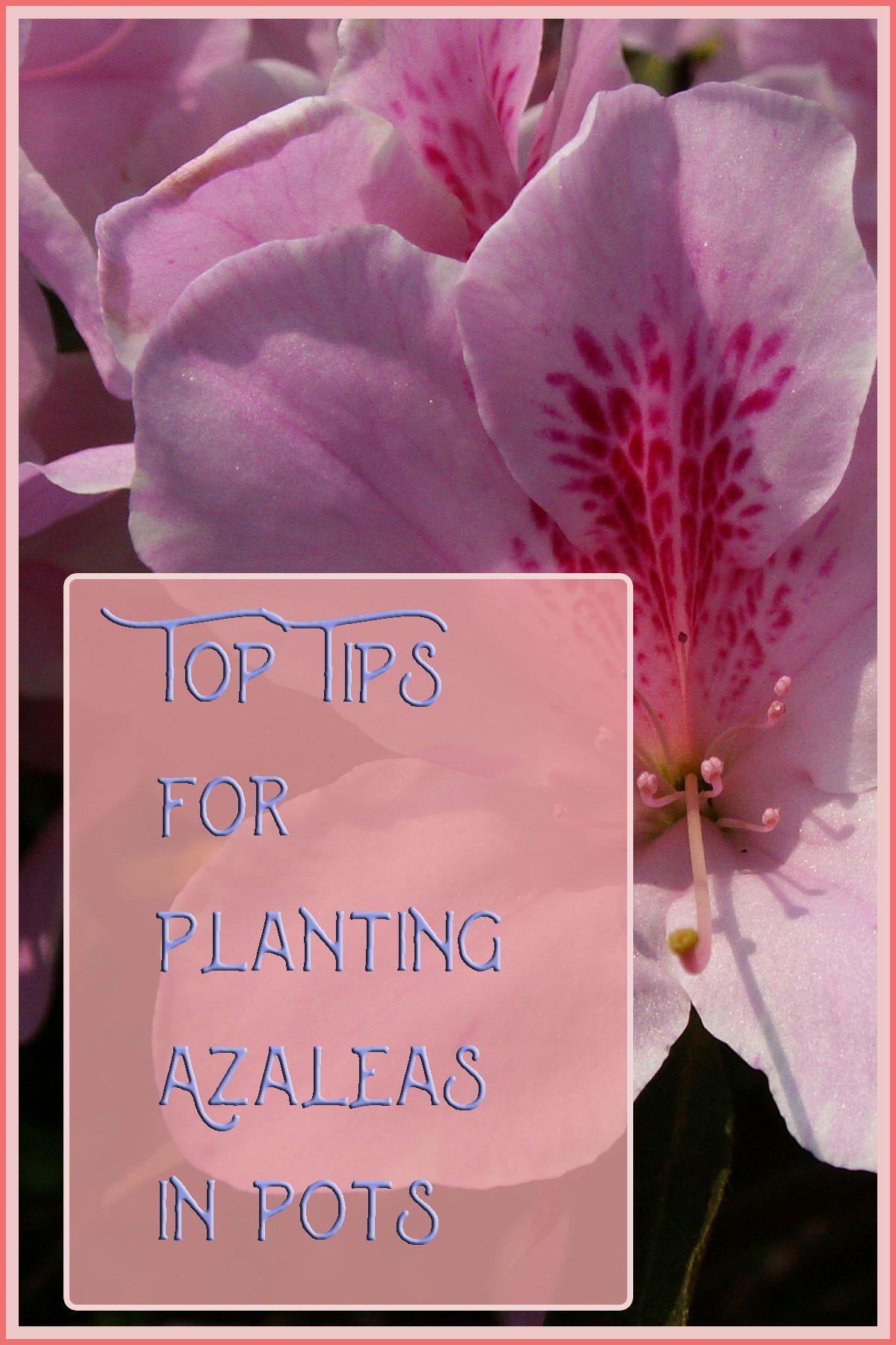 Tips for planting Azaleas in Pot Azaleas, Azalea flower
