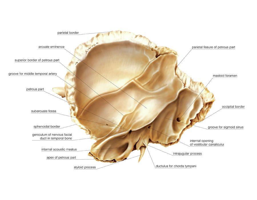 Temporal Bone Anatomy Internal View Human Body Anatomy Pinterest