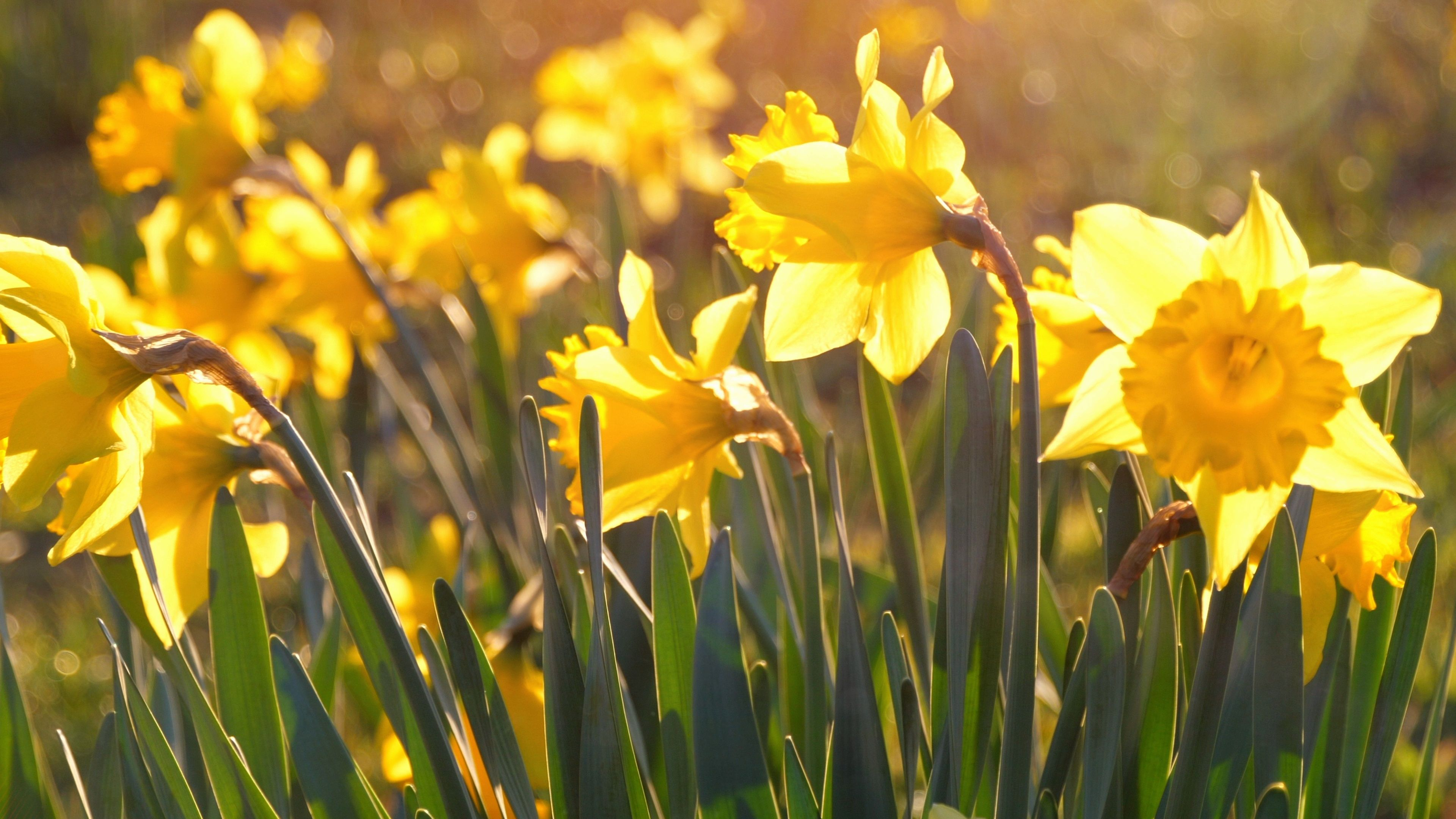 Close Up Daffodils Yellow Field Meadow Easter Flower Nature Slow
