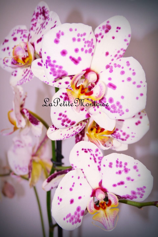 orchidee blanche fushia