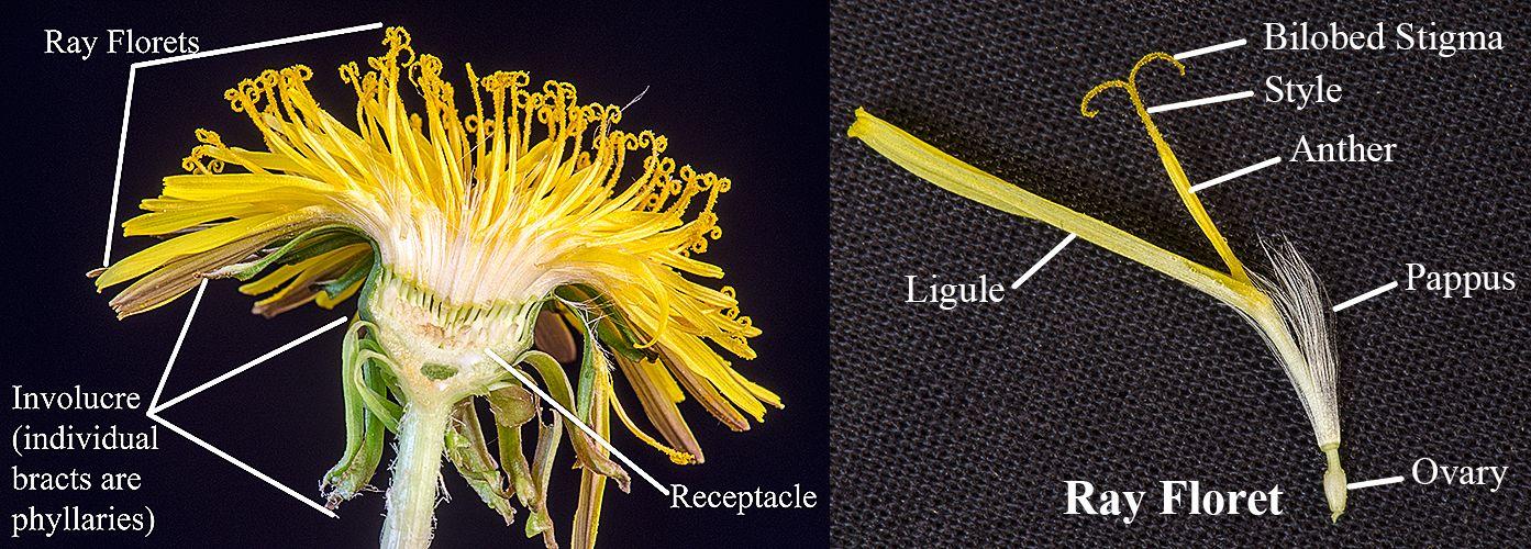 Taraxacum Officinale Parts Of A Flower Taraxacum Officinale Dandelion Flower