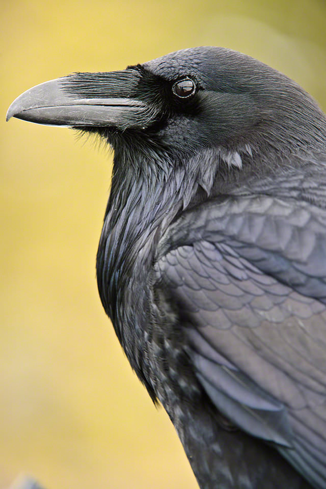 Raven - copyright Moose Peterson. Best Focal Length to Get Into Wildlife Photography