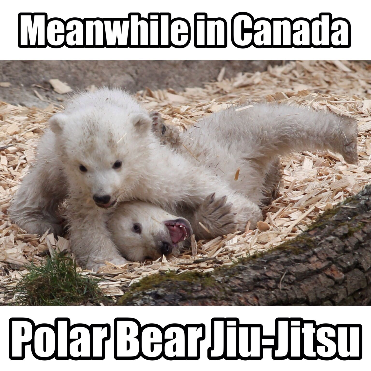 6e68e4dfcb38565155ef8d3e3a2e8ec1 polar bear jiu jitsu! (meme made by yours truly) so adorable