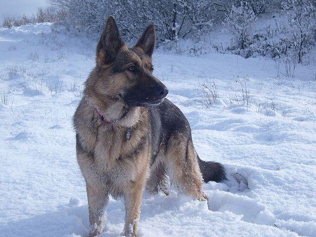 German Shepherd Both My Shepards Loved The Snow I Miss My Dog