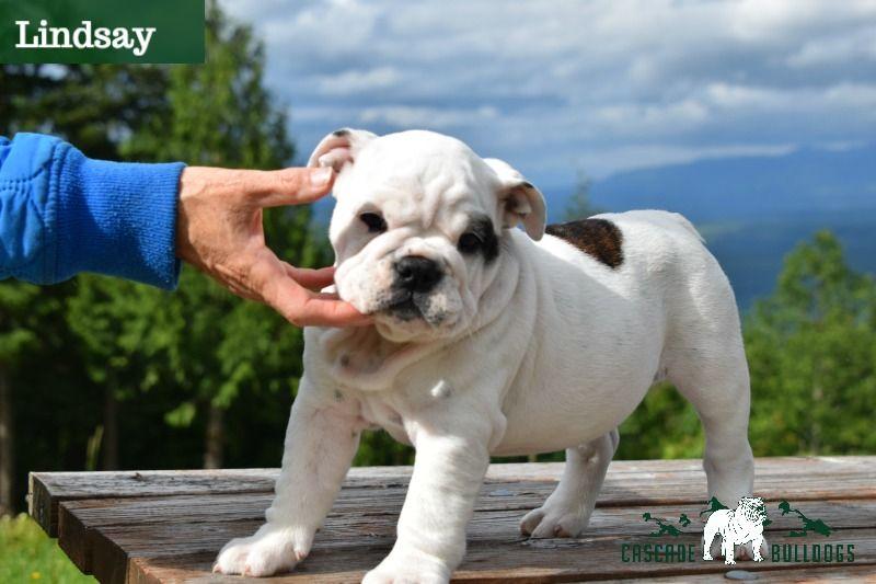 Bulldog Puppies Bulldog Bulldog Puppies Puppies
