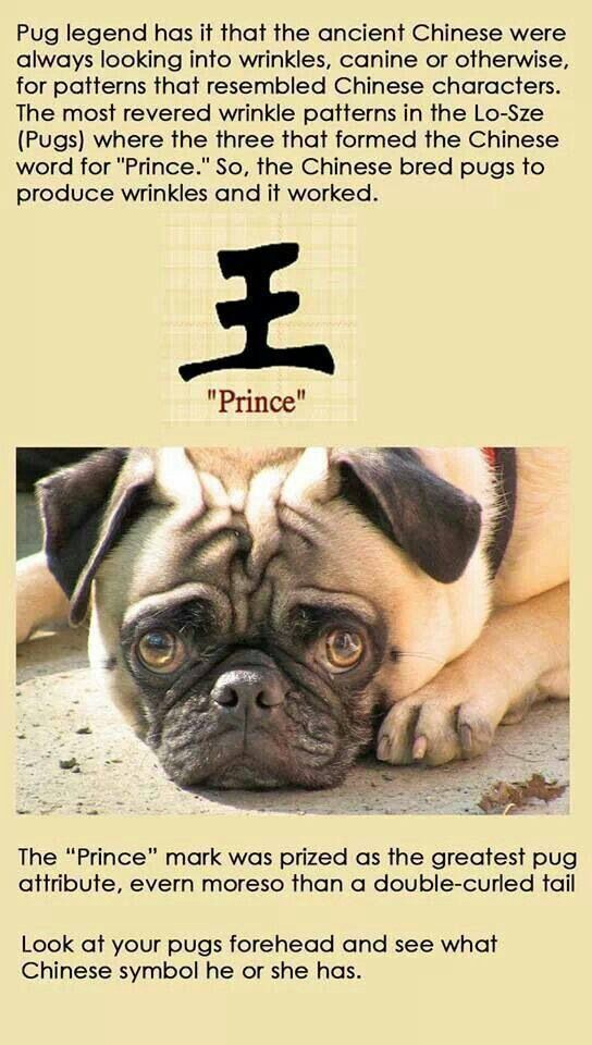 My Boy With Images Pugs Funny Pugs Cute Pugs
