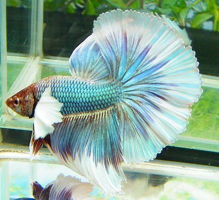 Finding the best betta fish food for your betta fish - Betta Fish Care #elephantearsandtropicals Elephant Ear Betta. Keep in mind all Bettas should be housed no differently than any other tropical fish, which means a cycled, heated, and filtered aquarium of no less than 5 gallons. Providing them with the BEST environment possible will allow them to live a healthy and happy life. #elephantearsandtropicals