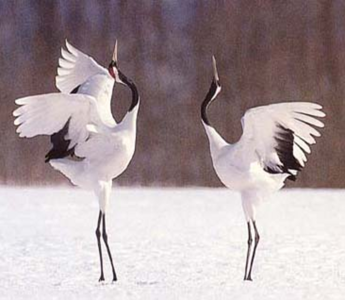 japanese crane pictures | ... -crowned cranes of Hokkaido ... - photo#30