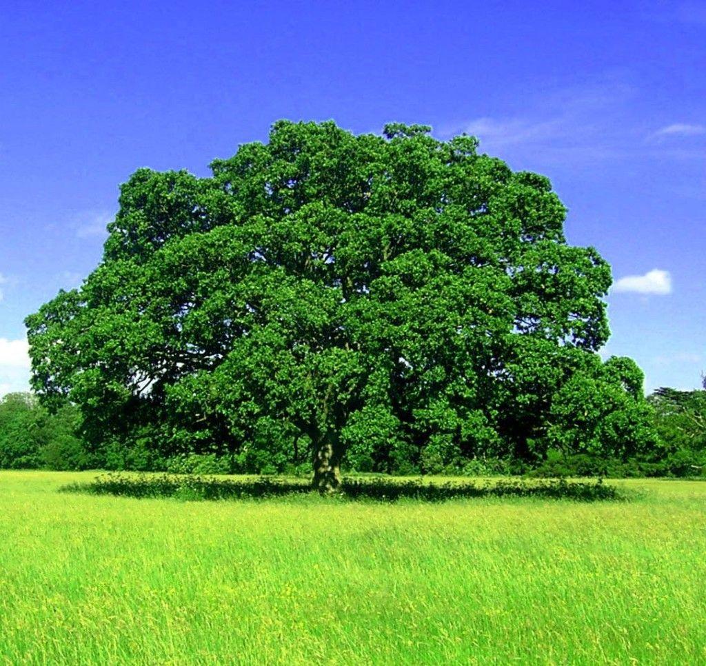 a7bb67b1c Árvores para sombra de crescimento rápido | FOTOGRAFIAS DA NATUREZA ...