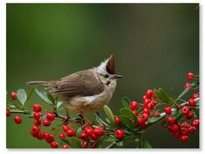 Formosan Yuhina Photo by D. H.