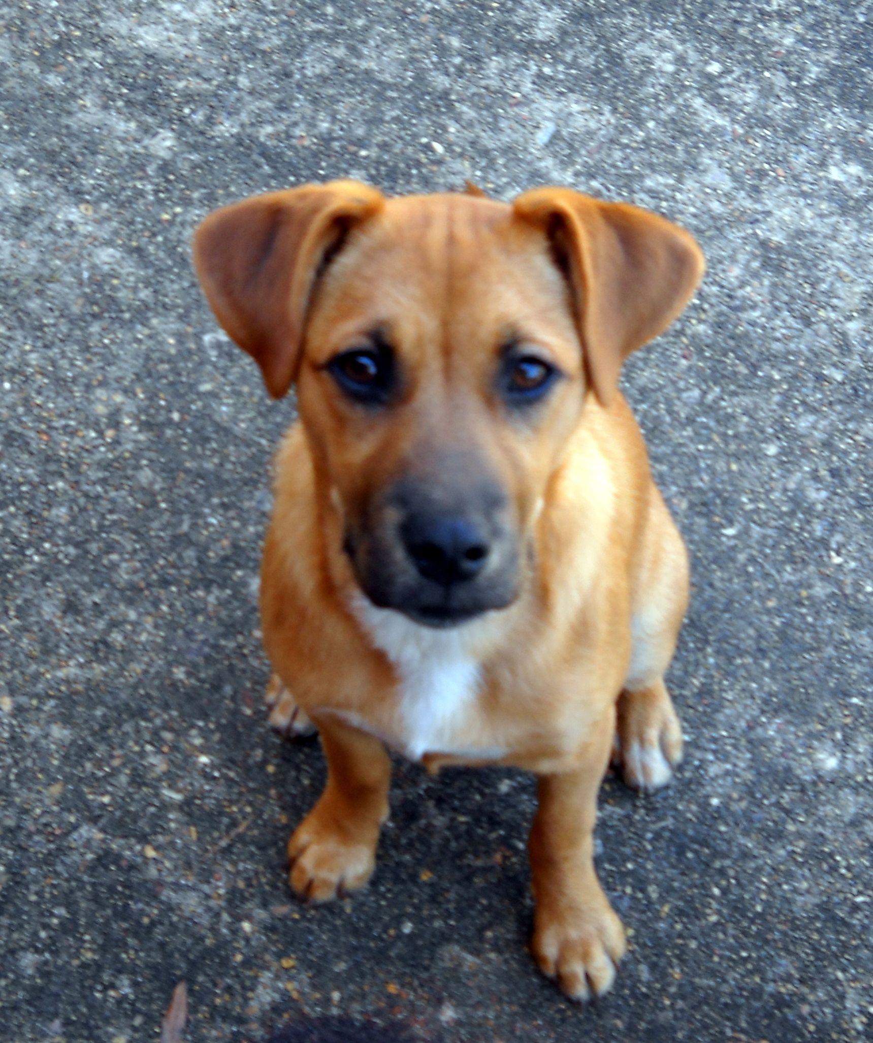 Labrador Retriever Mix German shepherd lab mix, Shepherd