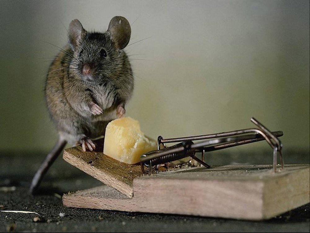 Te enseñaremos como armar trampa para ratas con baldes o botellas de ...
