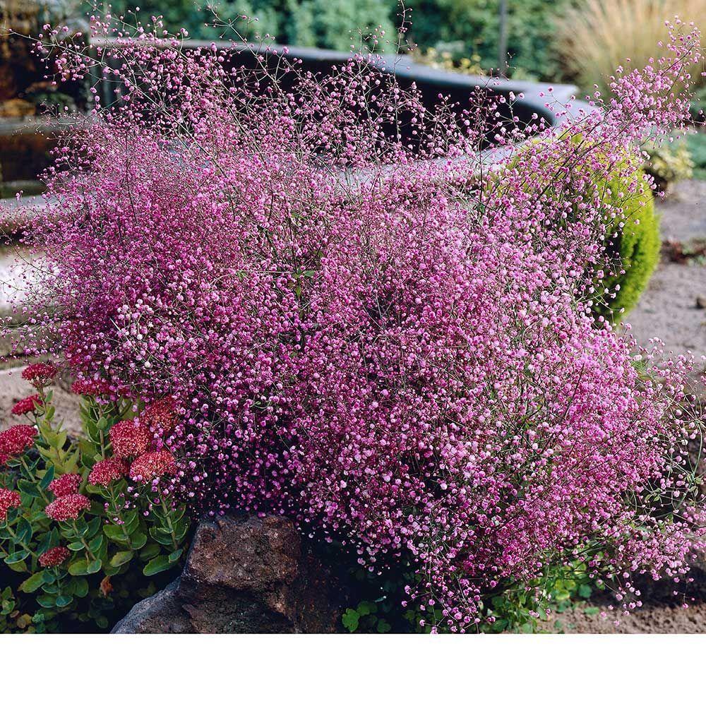 Piantare Alberi Di Paulonia thalictrum delavayi 'hewitt's double'   giardinaggio, fiori