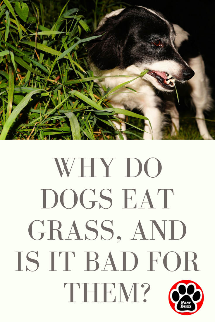 Dogs Love To Munch Away On Grass And Some Even Make It Part Of