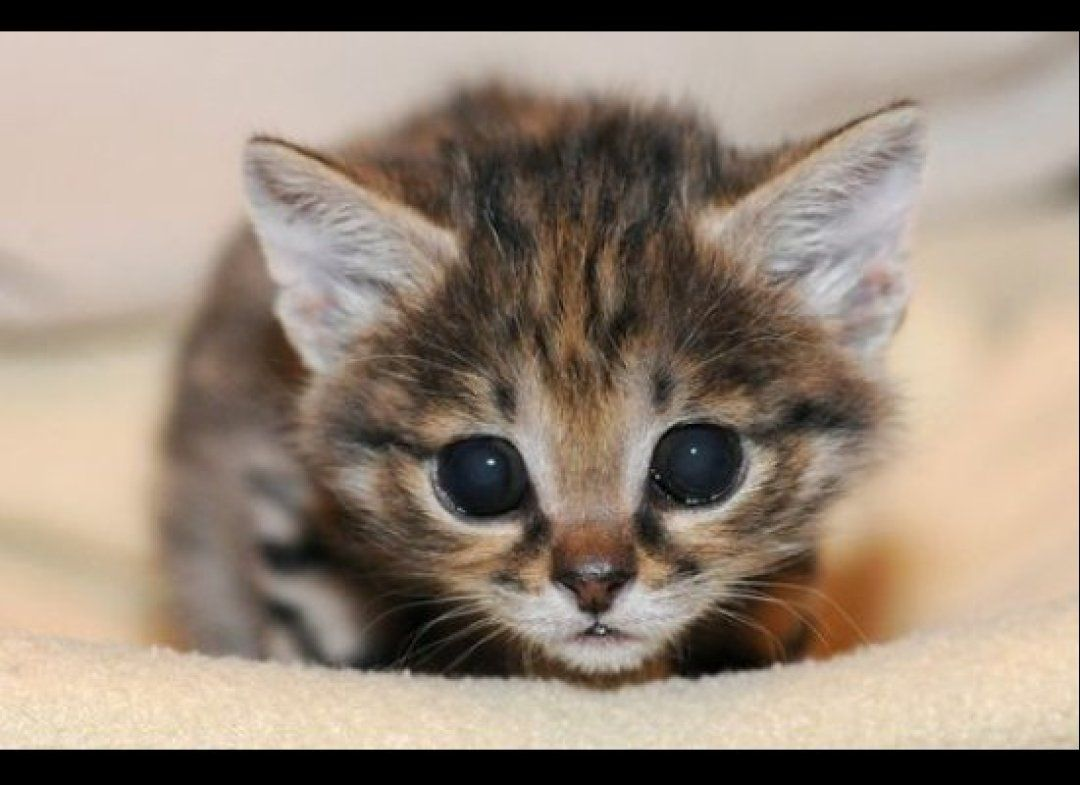 Photos Brookfield Zoo S Adorable New Addition Cute Animal Pictures Cute Cats Black Footed Cat