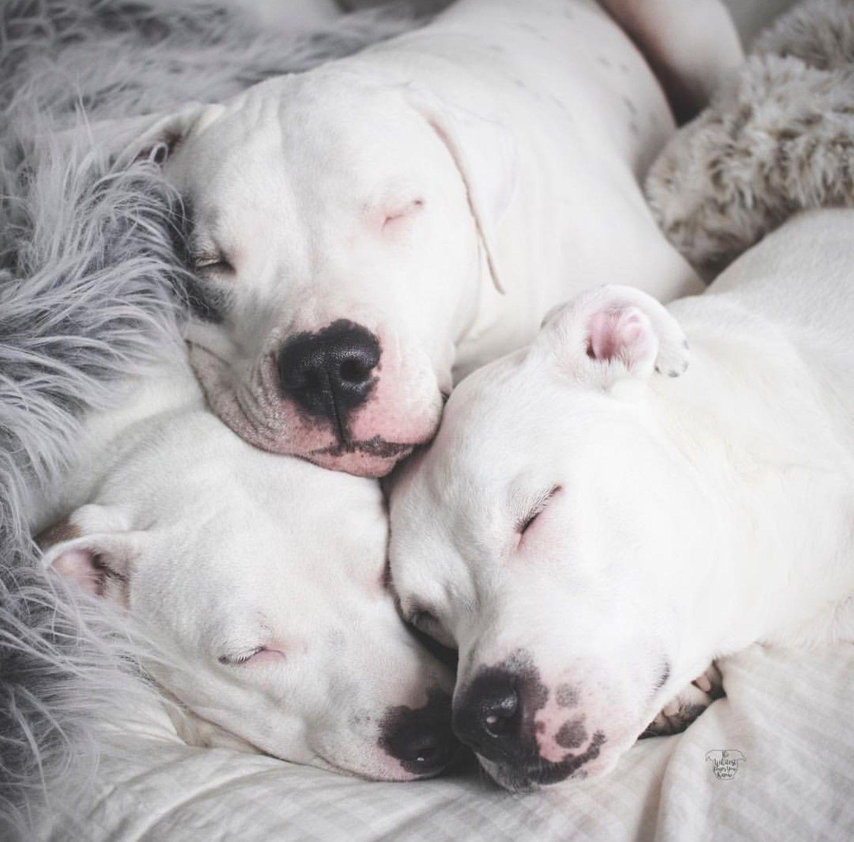 Beautiful With Images Pitbull Dog Pitbull Puppies Pitbulls