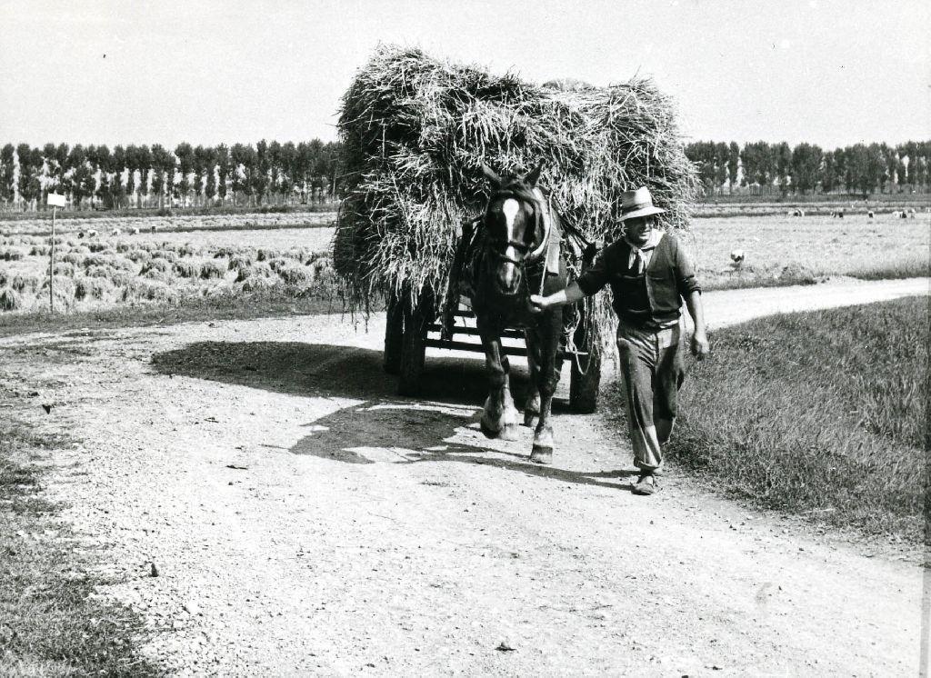 Trasporto dei covoni di riso mietuto, effettuato con un carro agricolo a ruote gommate, trainato da un cavallo