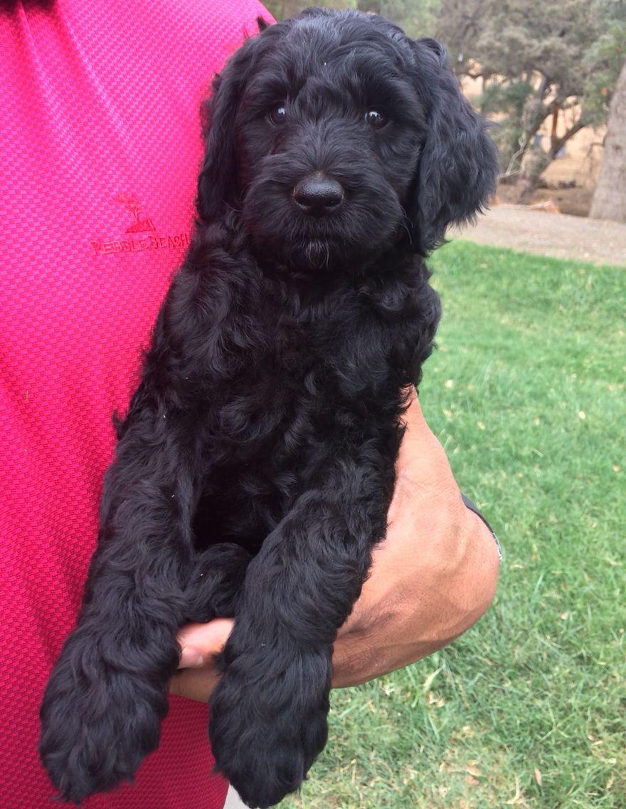 MarkusKanyon's new goldendoodle puppy. Goldendoodle