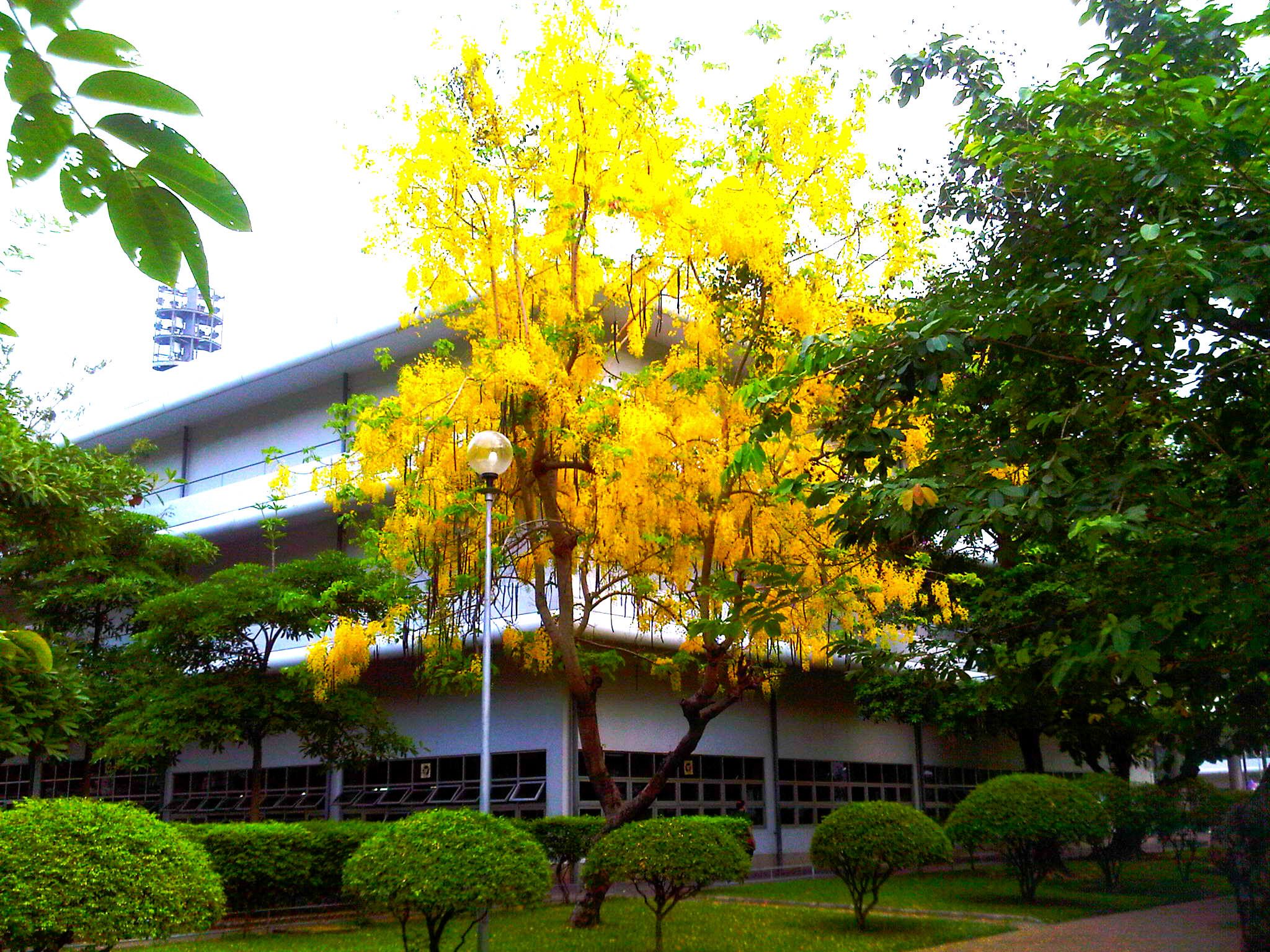 Cassia fistula - The Golden Shower Tree, national tree of ...