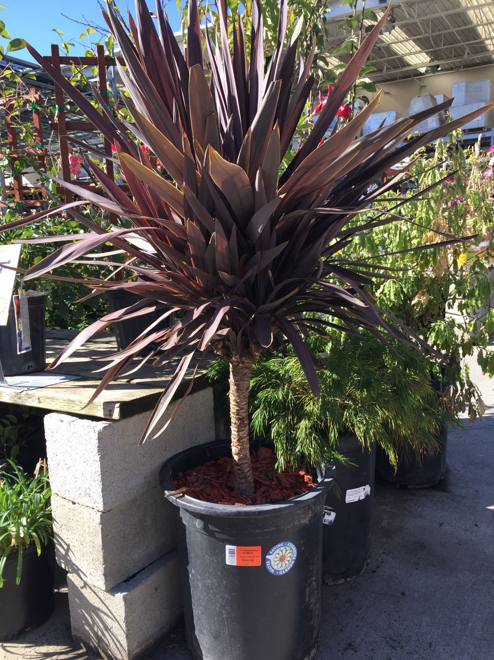 Cordyline Australis Red Sensation Tall To Add Some