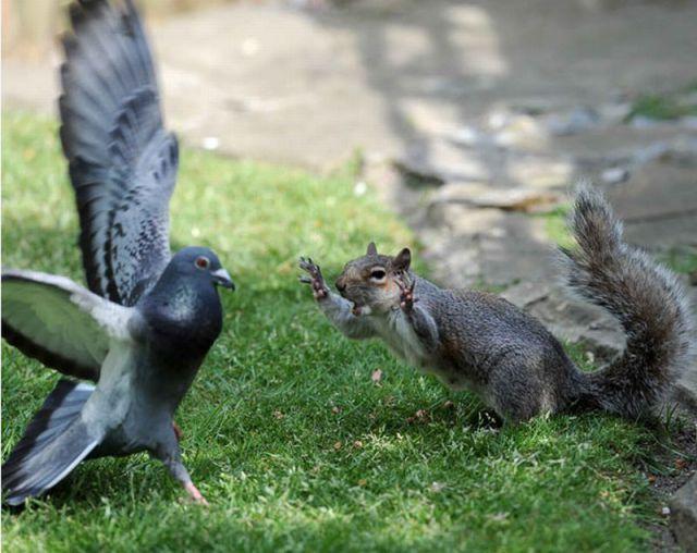 Squirrel Scaring Pigeon   Squirrel funny, Cute baby ...