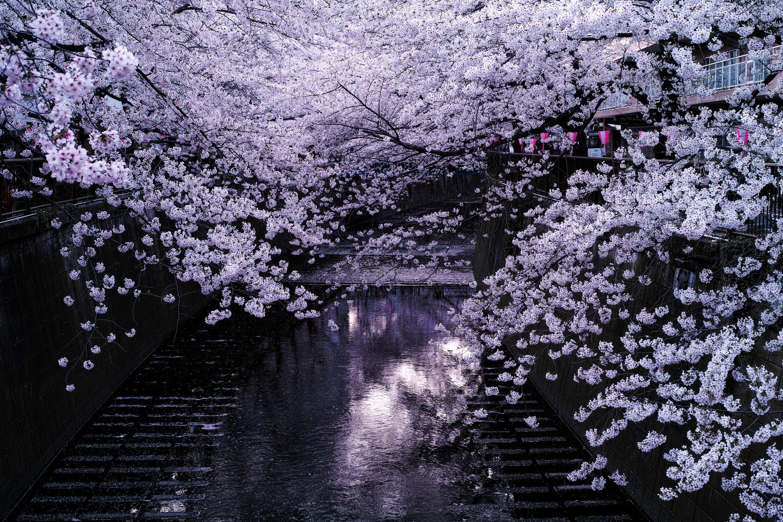 Cherry Blossoms Over The Meguro River In Tokyo Cherry Blossom Japan Japanese Cherry Blossom Cherry Blossom Tree