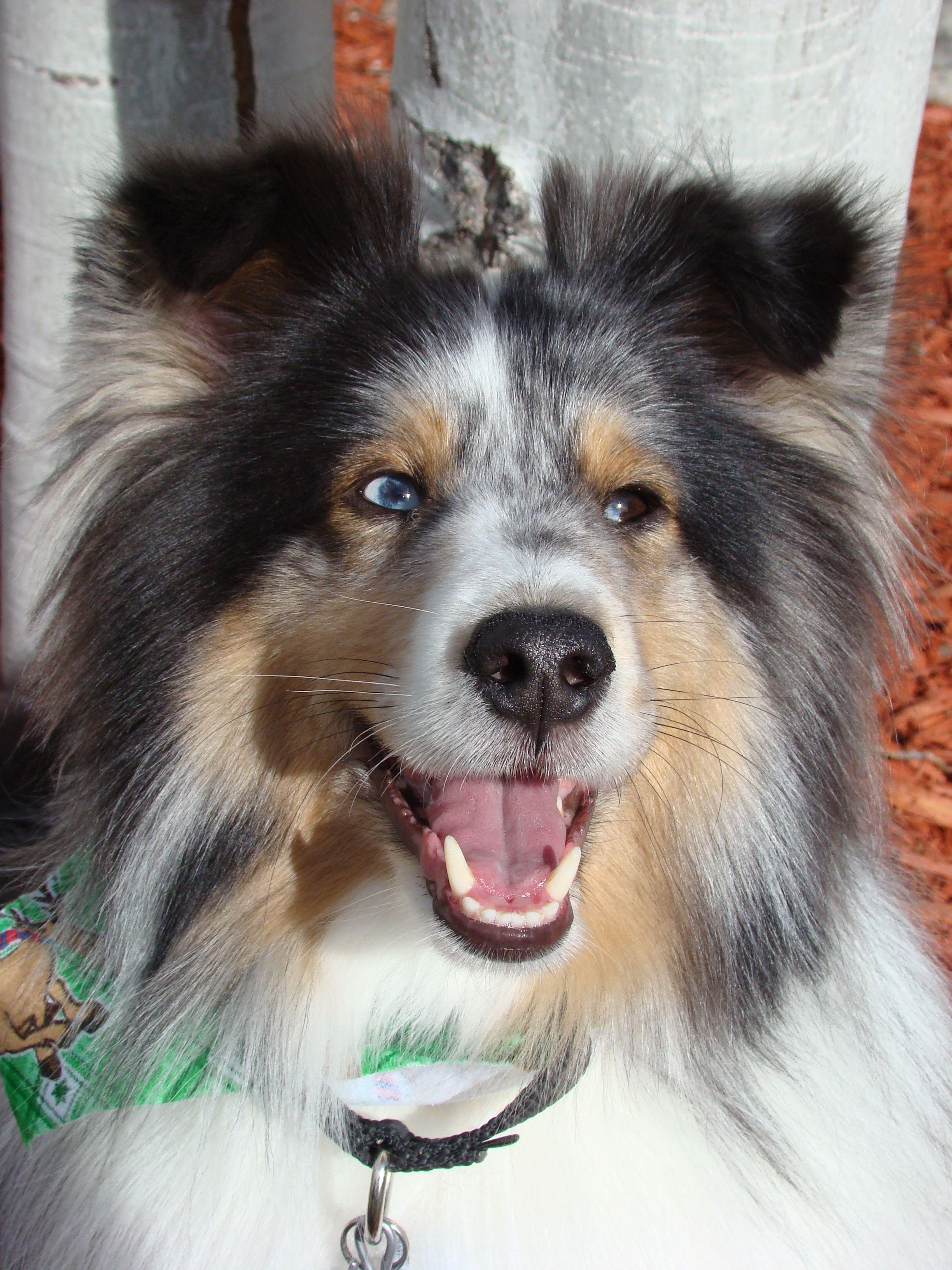 Meet Aspen - a darling Sheltie!