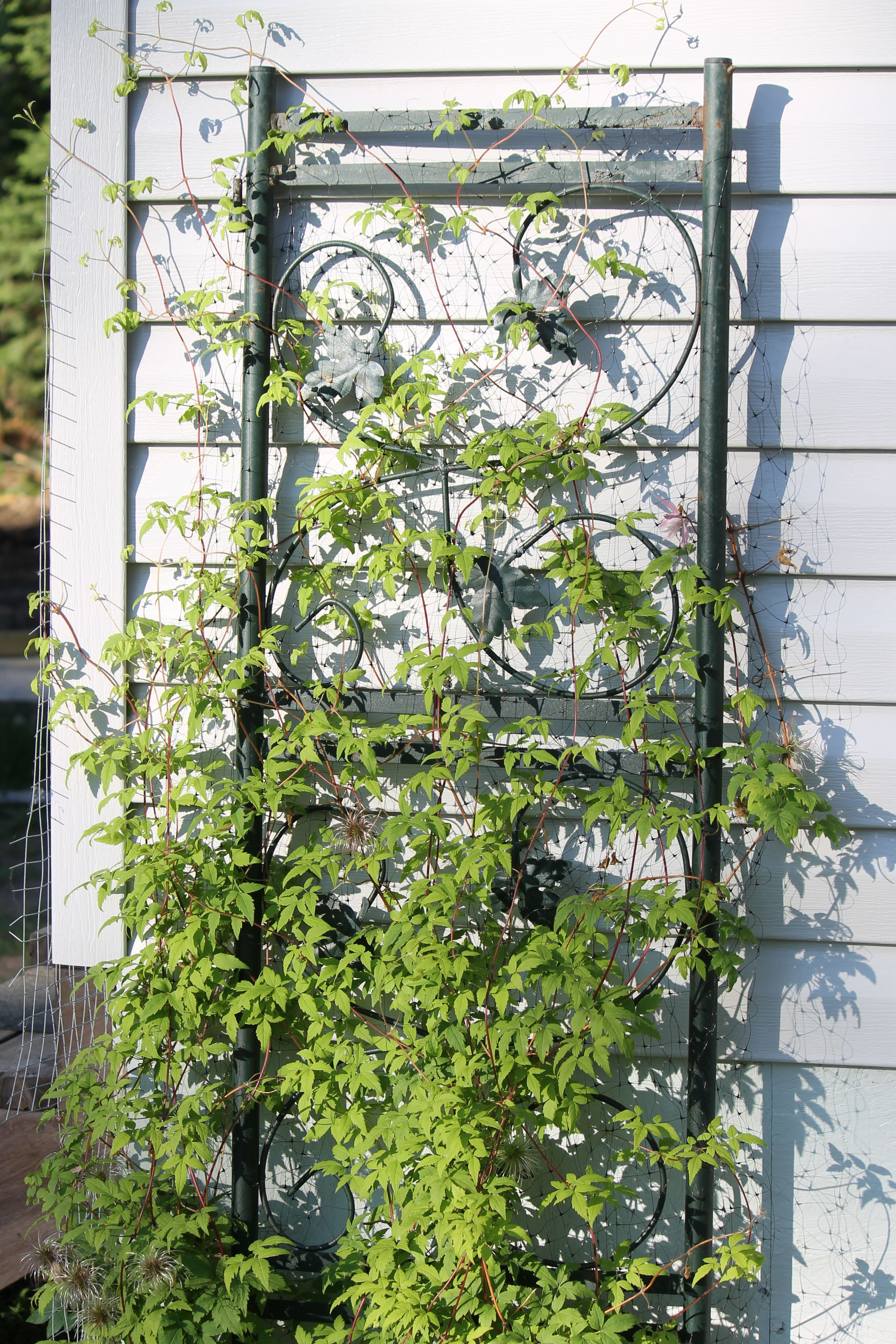 Climbing vines for walls - Use Old Recycled Gazebo Walls For Climbing Vines And Roses After A Few