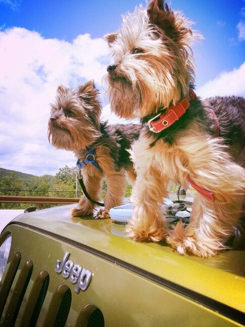 My Three Loves Two Dogs And A Jeep Jeep Dogs Yorkie Names