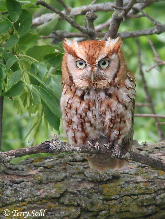 Eastern Screech Owl (Megascops asio) (With images