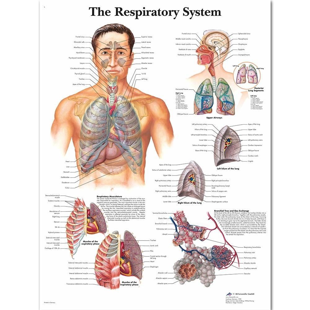 17+ Diagram of Respiratory Systems Anatomical Anatomy Charts Canvas Print Poster Wall Pictures for Medical Education Home Decor   50x60cm no frame