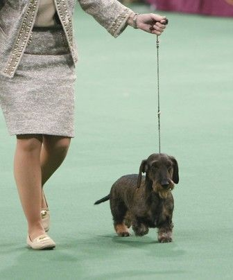 The American Kennel Club S Meet The Dachshund American Kennel