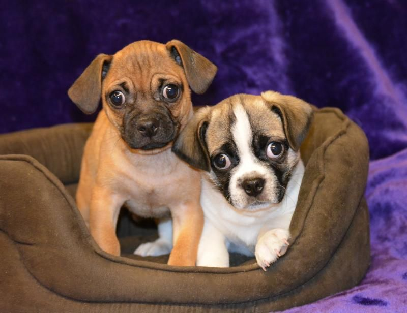 Puggle Puppies Designer And Cross Breed Puppies For Sale