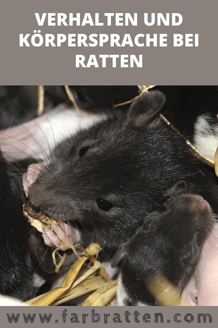 Verhalten Und Korpersprache Bei Ratten Alles Was Du Wissen