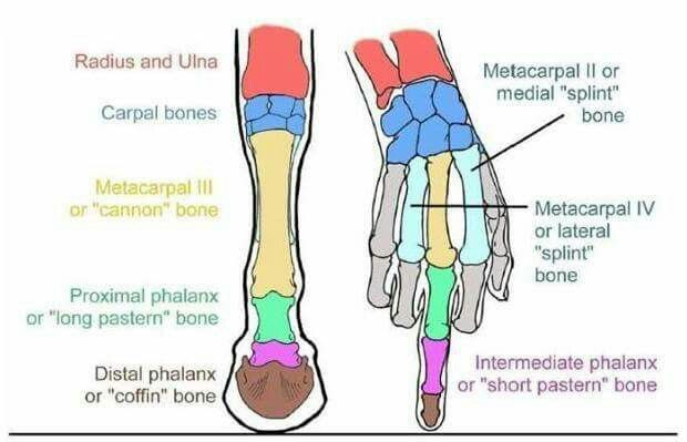 Pin By Lea Davis On Chanel Pinterest Horse Horse Anatomy And