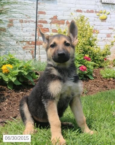 German Shepherd Puppy For Sale In Indiana Buckeyepuppies German