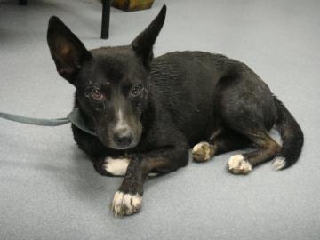 Petango Com Meet Carlos A 7 Years 3 Months Retriever Labrador