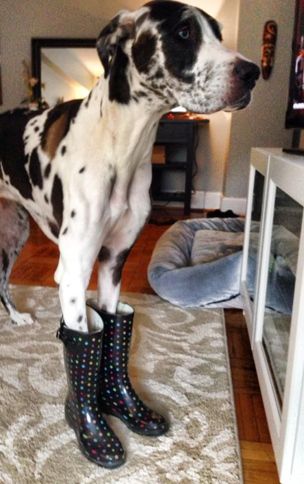 I Have An Image And It S Destroyed Dogs Pets Greatdanes
