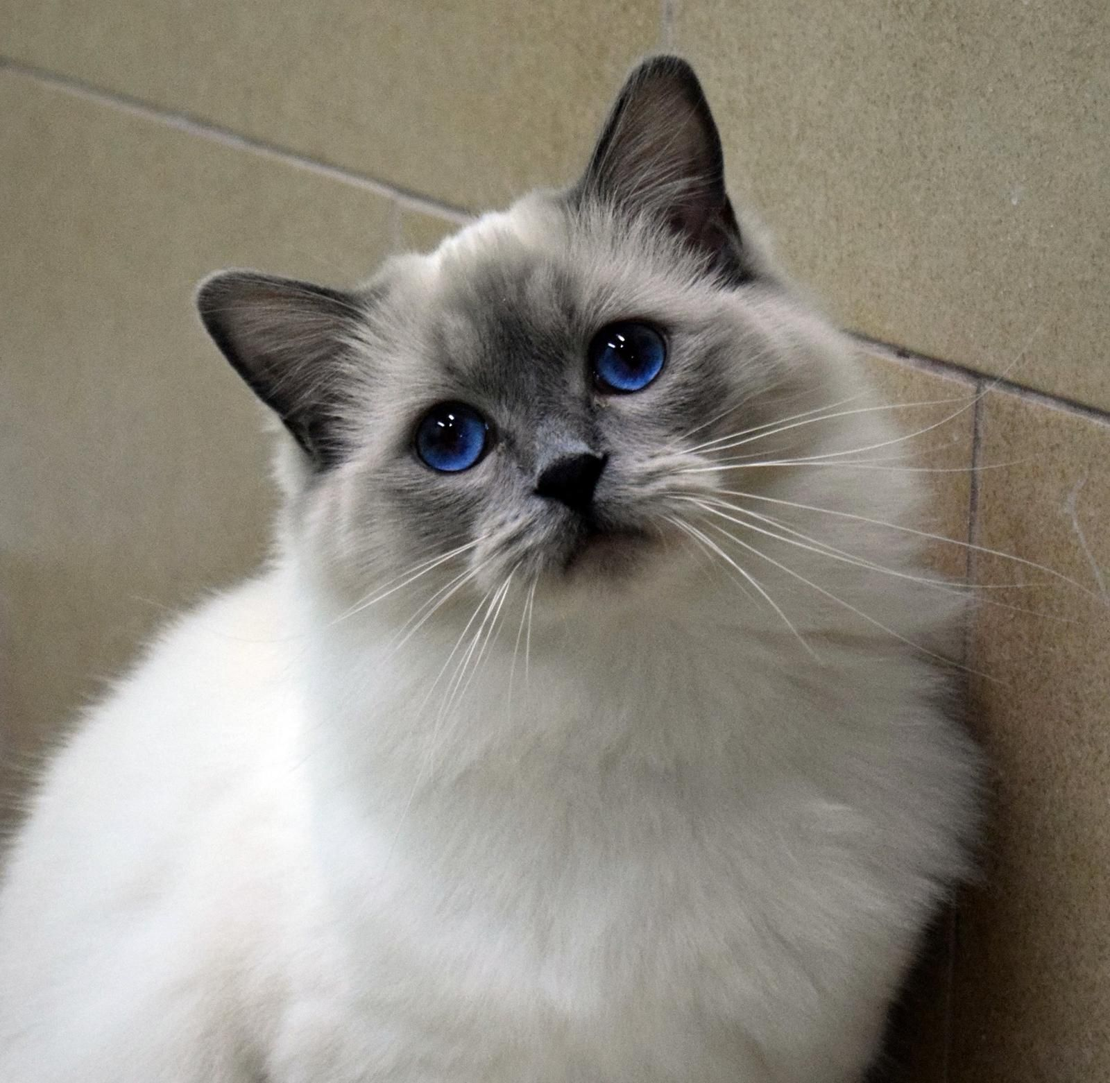Blue Point Female Whatchu Ragdoll Ohemgee Cats Cat Fluffycat