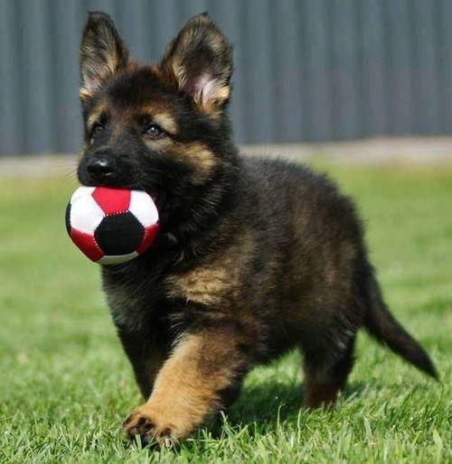 Love Football Cute German Shepherd Puppies Baby German