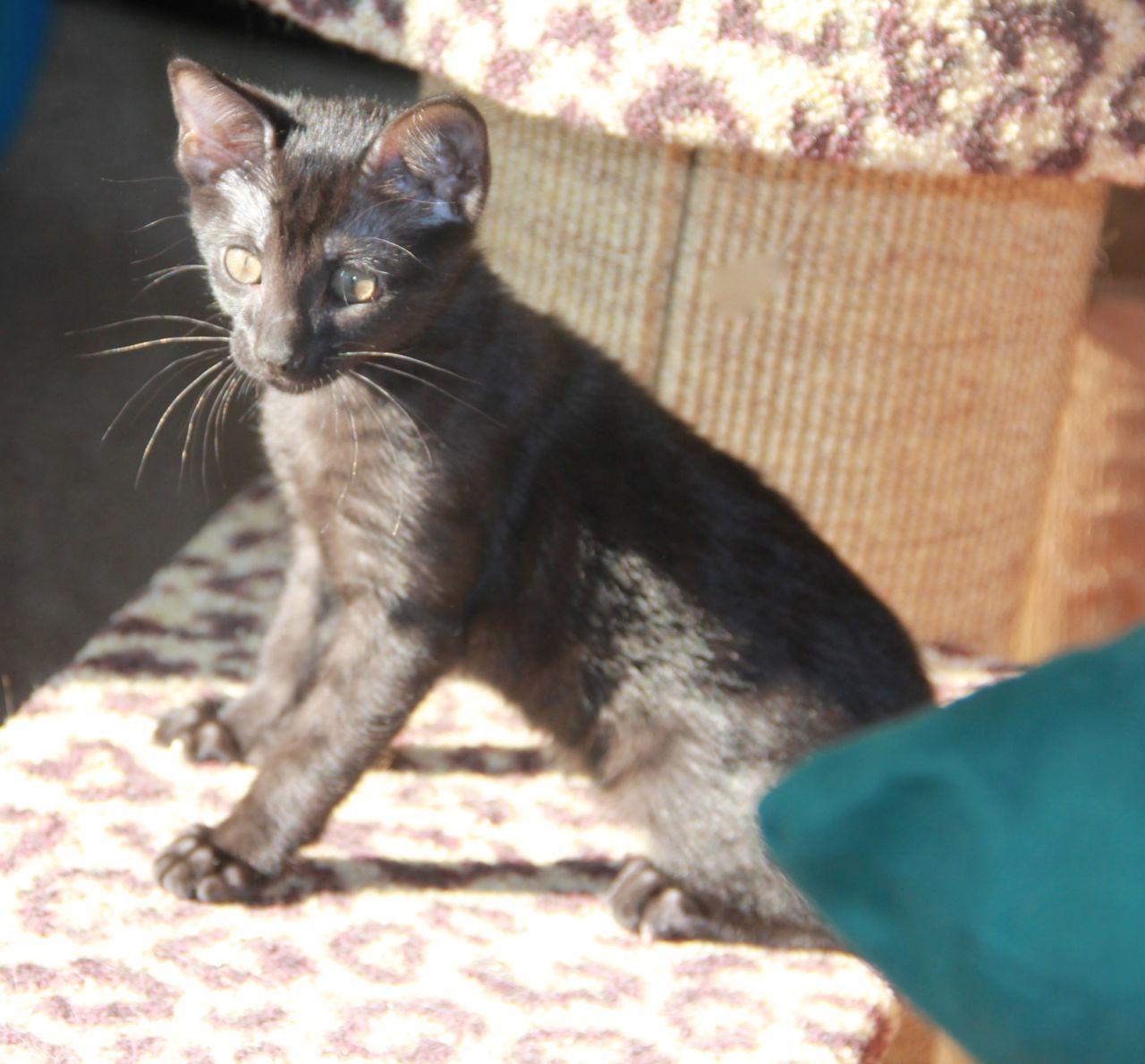 Siri 2 Months Old Savannah Kitten Melanistic Kittens