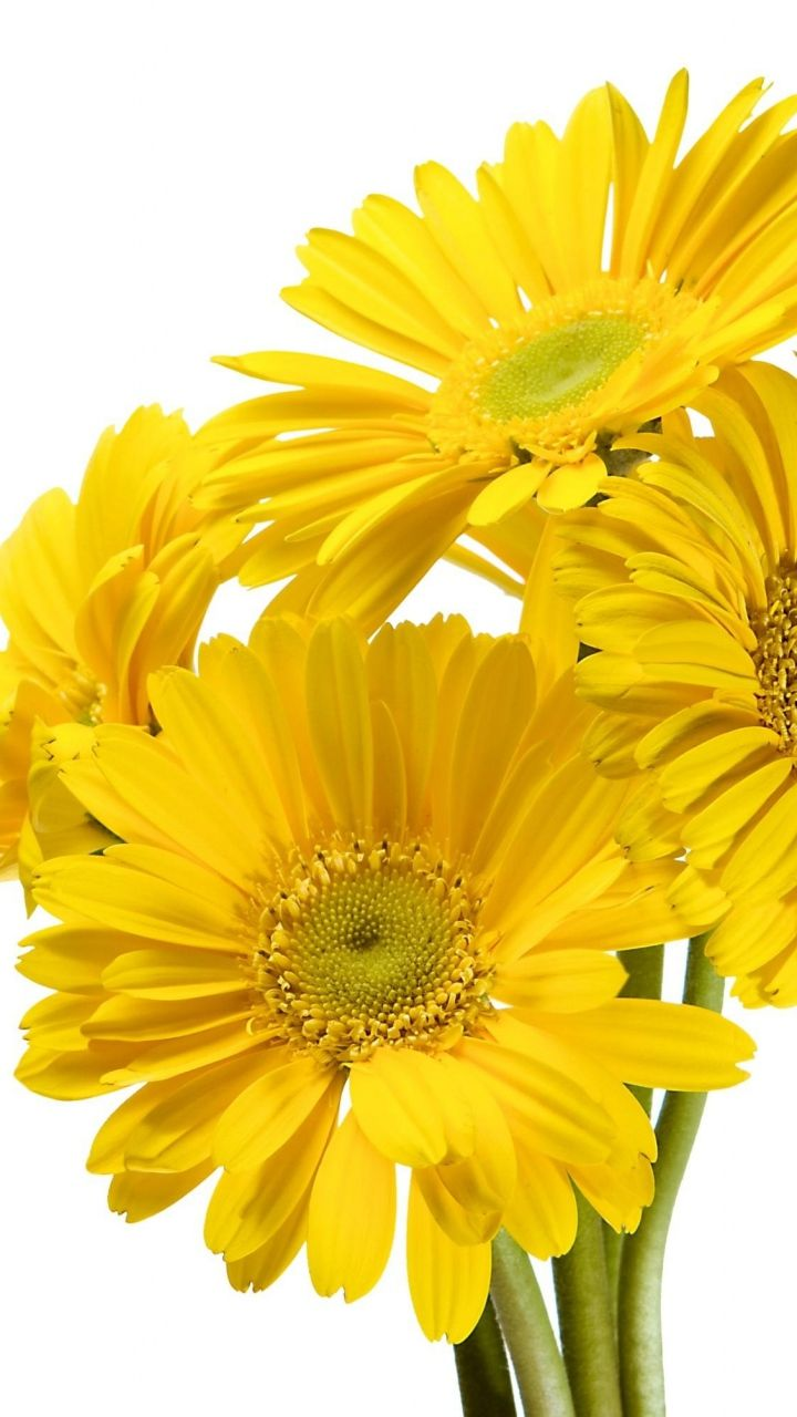 Download Wallpaper 720x1280 Gerbera Flower Yellow White