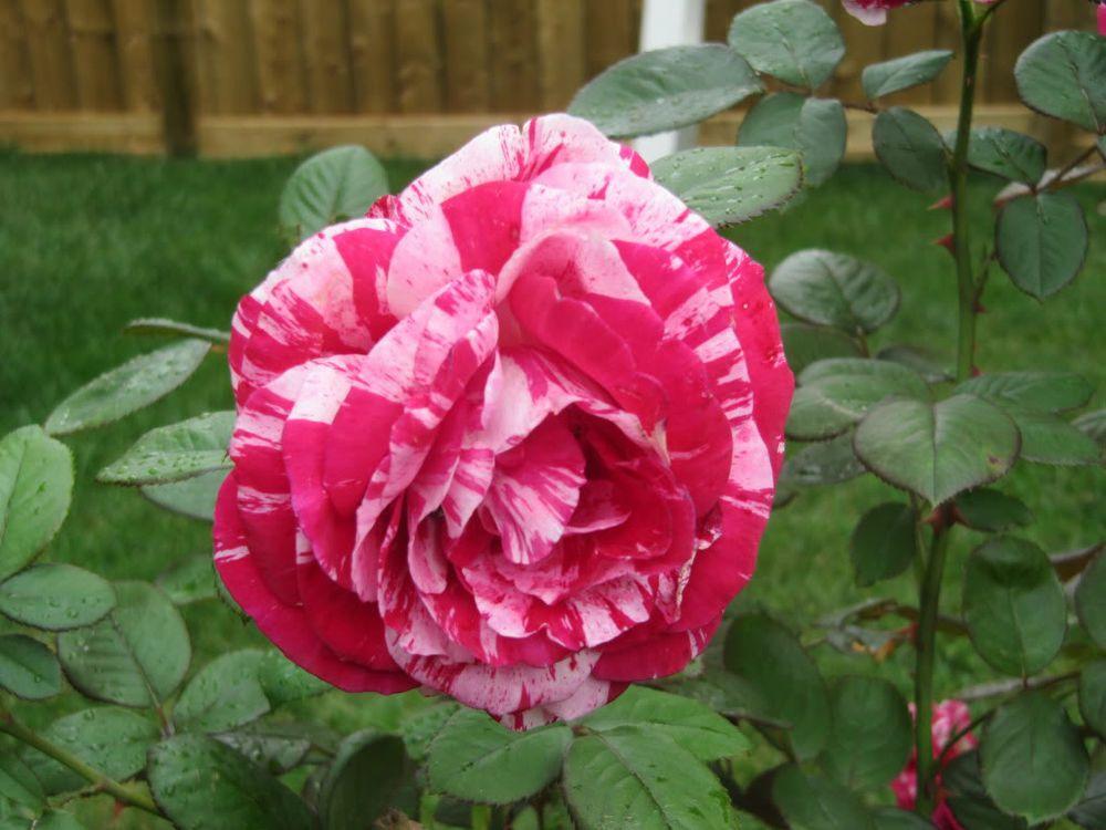 50 Rare Pink Dragon Rose Fresh Seeds Exotic Home Garden Flower