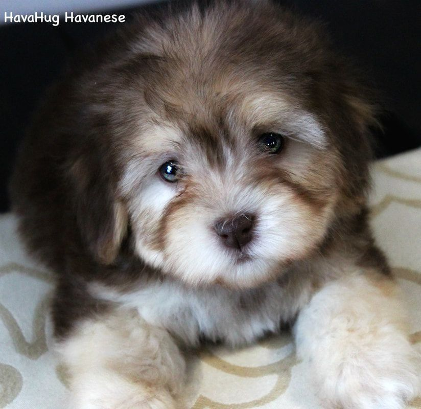 Havahug Havanese Puppies Havahug Havanese Puppies Of Michigan Yorkiepuppyforsaleinmichigan Havanese Puppies Puppies Havanese Dogs
