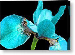 Turquoise Iris Flower Turquoise Iris Canvas Prints Japanese Iris Turquoise Black Four Fine Art America Art Canvas Prints