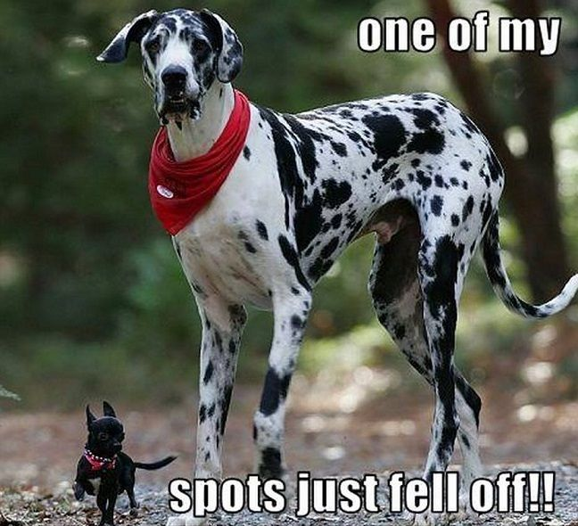12 Best Great Dane Memes Of All Time Funny Dog Photos Funny Animals Funny Dog Pictures